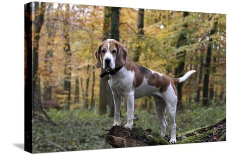 Beagle 11-Bob Langrish-Stretched Canvas Print