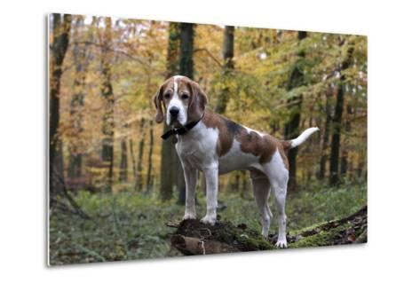 Beagle 11-Bob Langrish-Metal Print