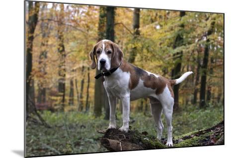 Beagle 11-Bob Langrish-Mounted Photographic Print