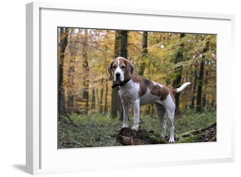 Beagle 11-Bob Langrish-Framed Art Print