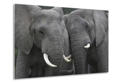 African Elephants 111-Bob Langrish-Metal Print