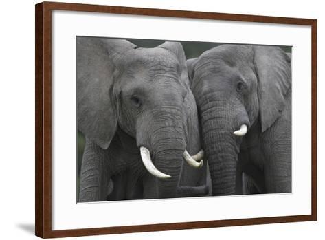 African Elephants 111-Bob Langrish-Framed Art Print