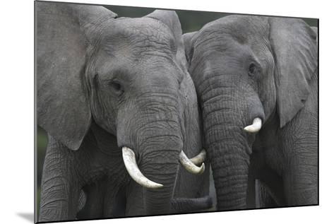 African Elephants 111-Bob Langrish-Mounted Photographic Print