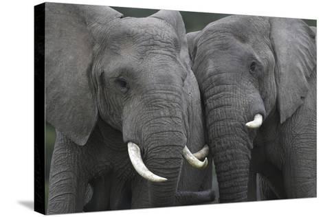 African Elephants 111-Bob Langrish-Stretched Canvas Print