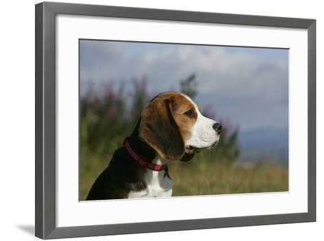 Beagle 66-Bob Langrish-Framed Art Print