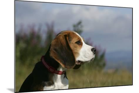 Beagle 66-Bob Langrish-Mounted Photographic Print