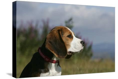 Beagle 66-Bob Langrish-Stretched Canvas Print