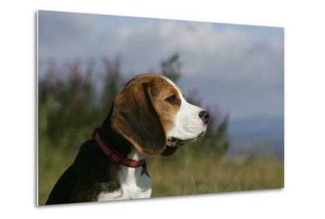 Beagle 66-Bob Langrish-Metal Print