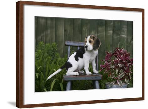 Beagle 49-Bob Langrish-Framed Art Print