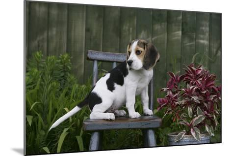 Beagle 49-Bob Langrish-Mounted Photographic Print