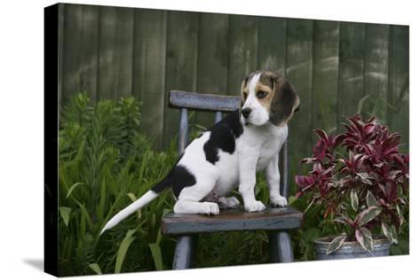 Beagle 49-Bob Langrish-Stretched Canvas Print