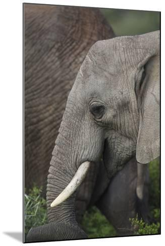 African Elephants 089-Bob Langrish-Mounted Photographic Print