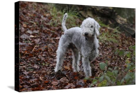 Bedlington Terrier 03-Bob Langrish-Stretched Canvas Print