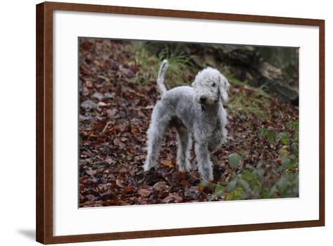 Bedlington Terrier 03-Bob Langrish-Framed Art Print