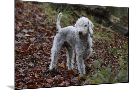 Bedlington Terrier 03-Bob Langrish-Mounted Photographic Print