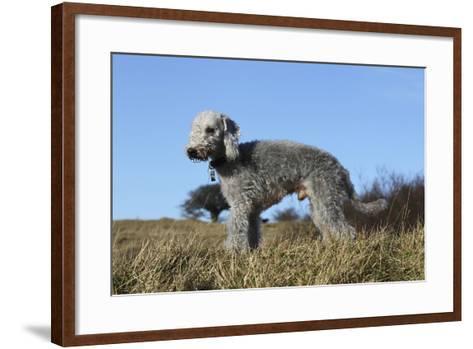 Bedlington Terrier 17-Bob Langrish-Framed Art Print