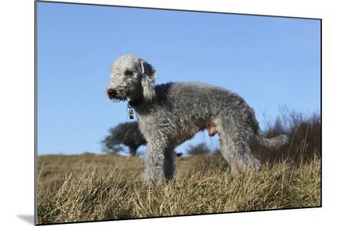 Bedlington Terrier 17-Bob Langrish-Mounted Photographic Print