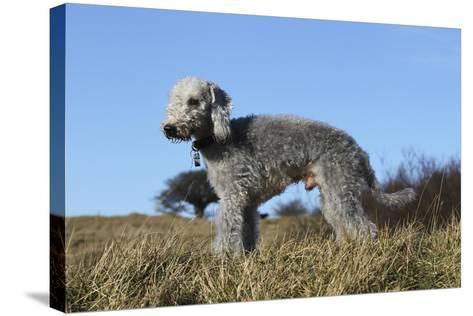Bedlington Terrier 17-Bob Langrish-Stretched Canvas Print