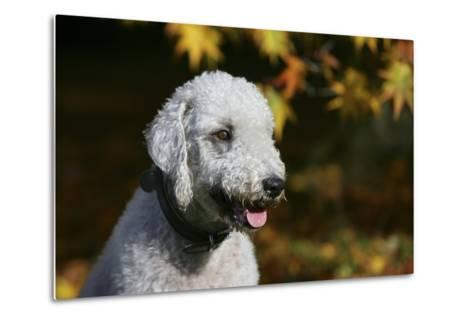 Bedlington Terrier 20-Bob Langrish-Metal Print