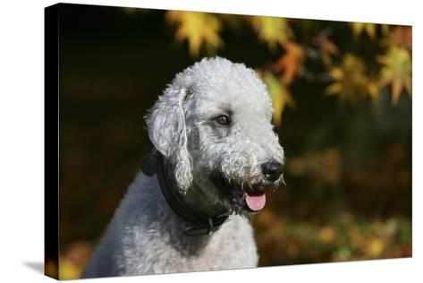 Bedlington Terrier 20-Bob Langrish-Stretched Canvas Print
