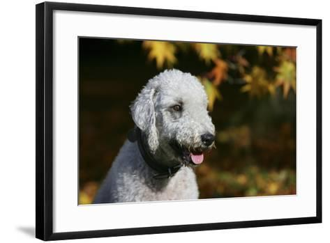 Bedlington Terrier 20-Bob Langrish-Framed Art Print