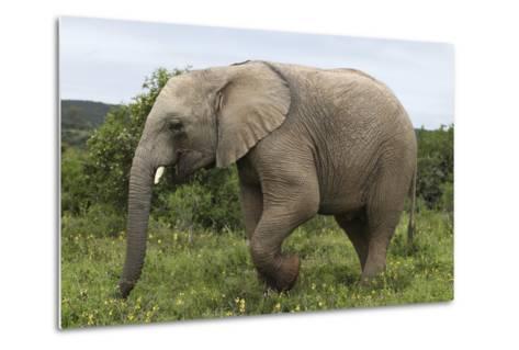 African Elephants 135-Bob Langrish-Metal Print