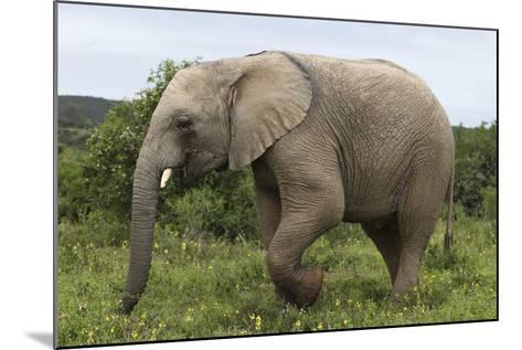 African Elephants 135-Bob Langrish-Mounted Photographic Print
