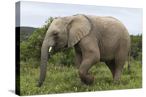 African Elephants 135-Bob Langrish-Stretched Canvas Print