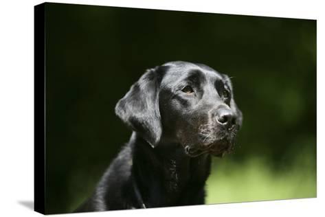 Black Labrador Retriever 22-Bob Langrish-Stretched Canvas Print