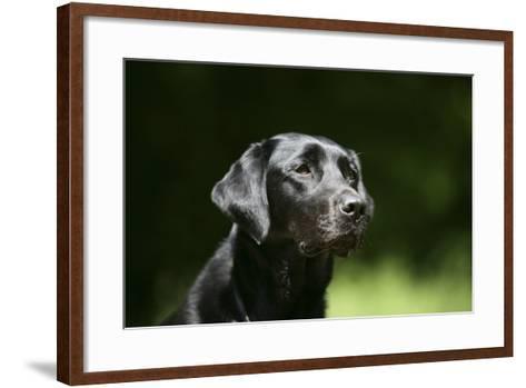 Black Labrador Retriever 22-Bob Langrish-Framed Art Print