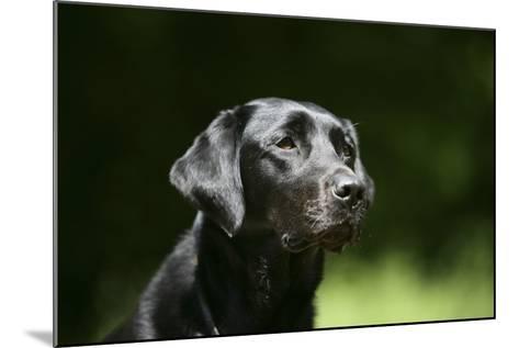 Black Labrador Retriever 22-Bob Langrish-Mounted Photographic Print