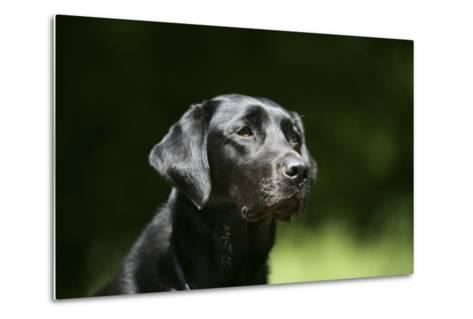 Black Labrador Retriever 22-Bob Langrish-Metal Print