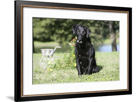 Black Labrador Retriever 13-Bob Langrish-Framed Art Print
