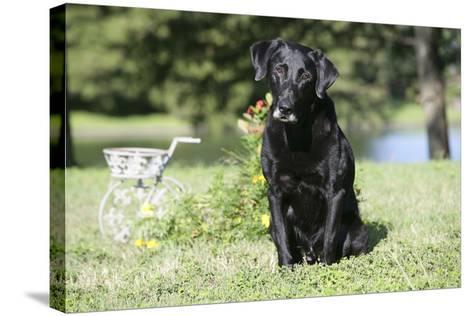 Black Labrador Retriever 13-Bob Langrish-Stretched Canvas Print