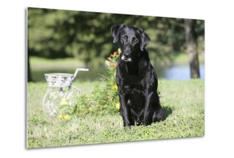 Black Labrador Retriever 13-Bob Langrish-Metal Print