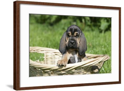 Bloodhound 15-Bob Langrish-Framed Art Print