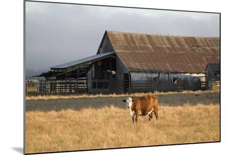Cow Portrait-Lance Kuehne-Mounted Photographic Print