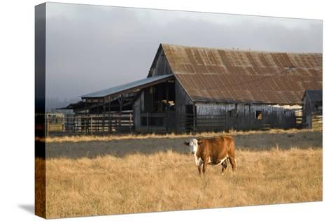 Cow Portrait-Lance Kuehne-Stretched Canvas Print