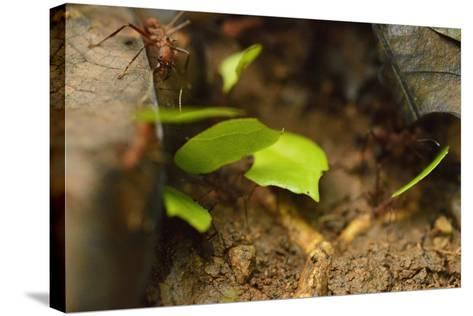 Leafcutter Ants Carry Leafs Back to their Colony on Barro Colorado Island-Jonathan Kingston-Stretched Canvas Print