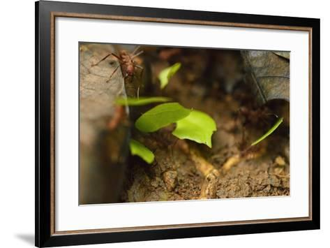 Leafcutter Ants Carry Leafs Back to their Colony on Barro Colorado Island-Jonathan Kingston-Framed Art Print