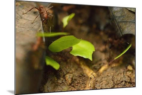 Leafcutter Ants Carry Leafs Back to their Colony on Barro Colorado Island-Jonathan Kingston-Mounted Photographic Print