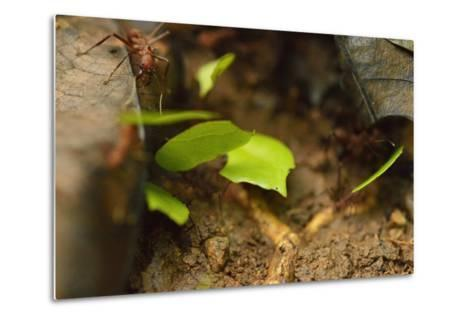 Leafcutter Ants Carry Leafs Back to their Colony on Barro Colorado Island-Jonathan Kingston-Metal Print