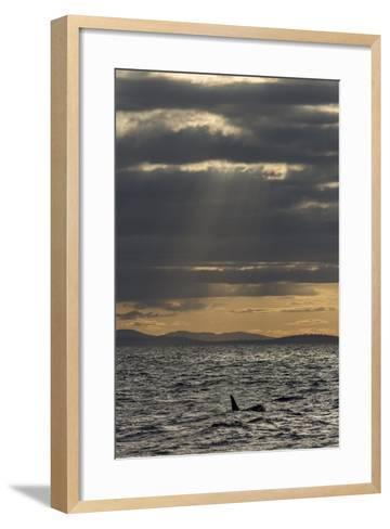 Killer Whale or Orca, Orcinus Orca, in Gwaii Haanas National Park-Macduff Everton-Framed Art Print