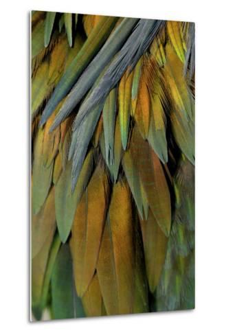 Feathers of a Nicobar Pigeon, Caloenas Nicobarica-Timothy Laman-Metal Print