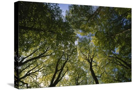 Low Angle View of Trees in Jasmund National Park-Norbert Rosing-Stretched Canvas Print