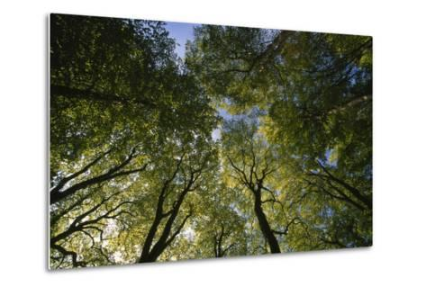 Low Angle View of Trees in Jasmund National Park-Norbert Rosing-Metal Print