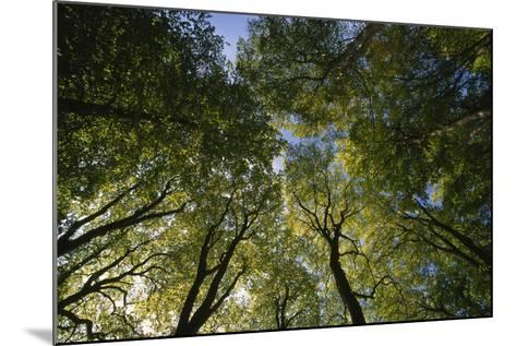 Low Angle View of Trees in Jasmund National Park-Norbert Rosing-Mounted Photographic Print