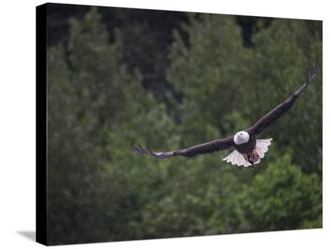 A Bald Eagle with Fish Head Near Juneau-Michael Melford-Stretched Canvas Print