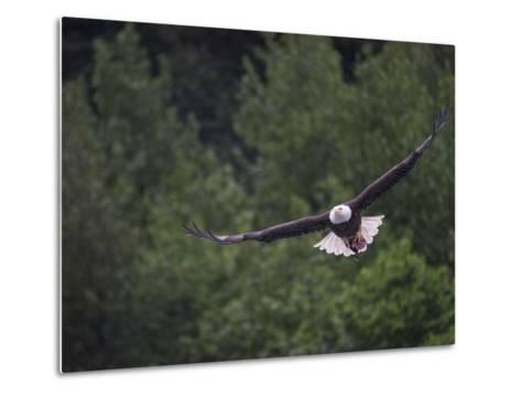 A Bald Eagle with Fish Head Near Juneau-Michael Melford-Metal Print