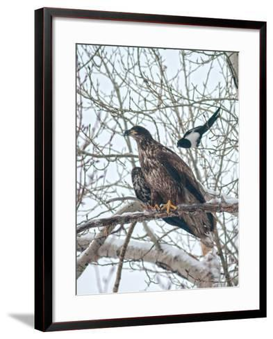 An Immature Bald Eagle Being Dive-Bombed by a Black-Billed Magpie Near the Magpie's Nest-Gordon Wiltsie-Framed Art Print